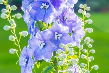 Photo pour Delphinium 'After Midnight', gros plan de fleurs bleues abondantes sur une seule tige - image libre de droit