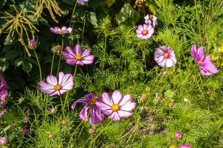 Beautiful landscaped summer garden, cosmos, flowers