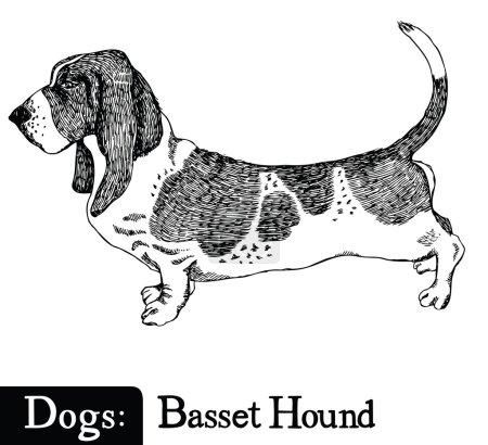 Dogs Sketch style Basset Hound