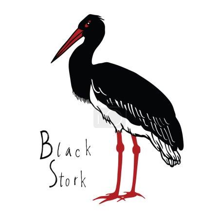 Birds collection Black Stork Color vector