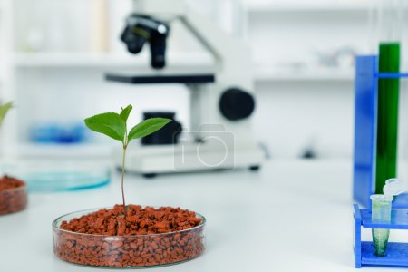Genetically modified plant tested in petri dish .Ecology laboratory