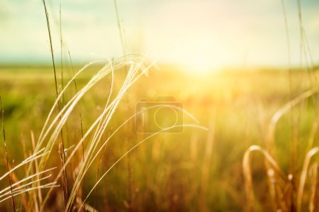 Photo pour Beautiful summer landscape with grass in the field at sunset. Summer background. Small depth of sharpness - image libre de droit