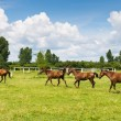 Beautiful horses grazing on the green grass...