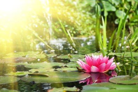 Photo pour Fleur de Lotus en étang bouchent avec vue - image libre de droit
