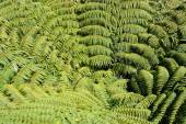 Giant Tree Fern Fronds of New Zealand Viewed from Above.