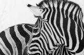 Divokých zvířat zebra hlava černobílý obrázek
