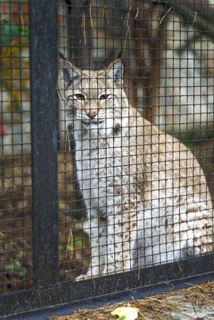 Photo pour Lynx dans le zoo regardant à travers la clôture métallique. Riga, Lettonie - image libre de droit