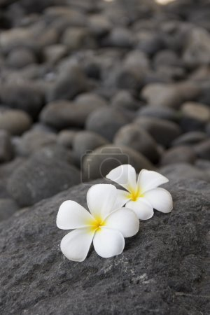 Plumeria flowers and dark stones