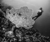 Staghorn coral and a diver