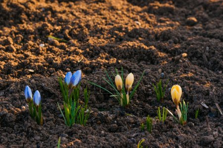 Photo for Crocus flowers in the soil in the spring - Royalty Free Image
