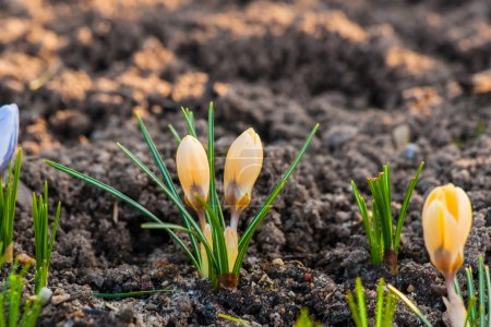 Yellow crocus flowers in the soil