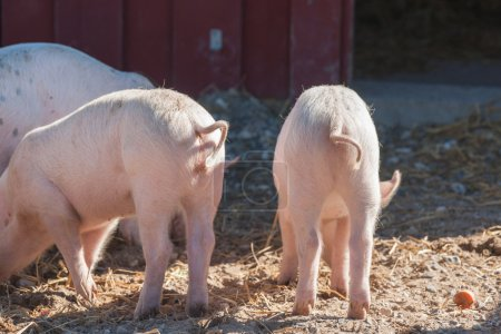 Pink piglets with curly tails
