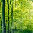 Panorama landscape of a beech forest in the spring...