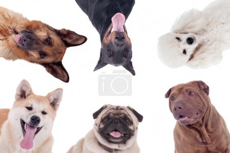group of dogs of different breeds isolated on white