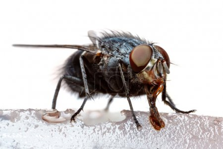 Photo for Extreme macro of a feeding black fly - Royalty Free Image