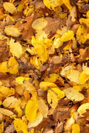 Photo pour Feuilles tombées en arrière plan dans la forêt d'automne - image libre de droit
