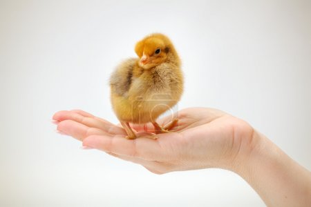 Newborn brown chicken standing in human hand