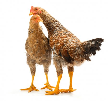 Pair of speckled pullets standing on white