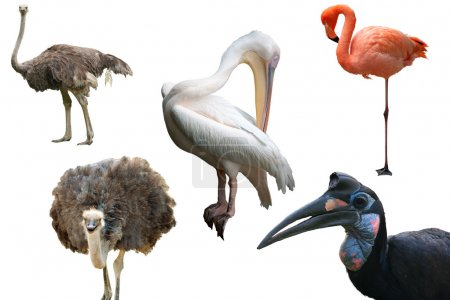 Ostriches, a Pelican, a Flamingo and an Abyssinian Ground Hornbill isolated on white