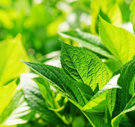 Photo pour Belles feuilles verts brillants brille dans la lumière du soleil sur fond de nature. Feuillage émeraude frais au printemps et en été. - image libre de droit