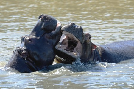Hippo fight wildlife animals challenge fight mouths wide open at waterhole