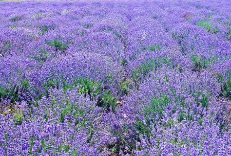 colorful Lavender field