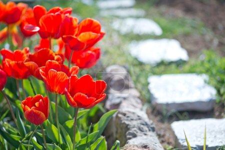 Tulipanes de primavera en el jardín