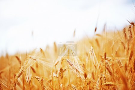 Photo for Ripe Golden wheat in the field in Crimea - Royalty Free Image