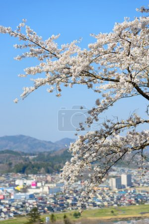 Cherry blossoms Funaoka Castle Park