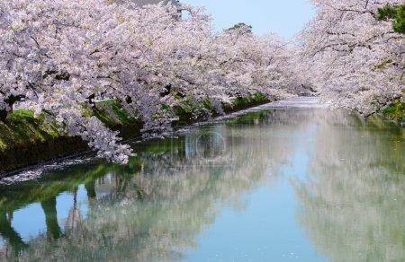 Cherry blossoms at Hirosaki Park