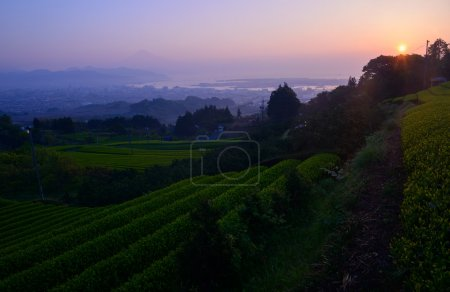 Mt.Fuji and tea plantation at dawn