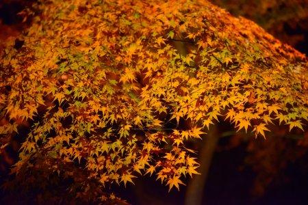 Autumn foliage in Rikugien Garden, Komagome, Tokyo