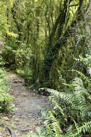 Photo pour Arbres et fougères dans la jungle tropicale - image libre de droit
