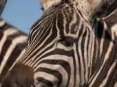Detailní záběr zebra