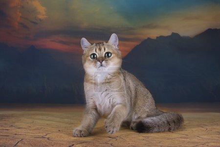 Photo pour Chaton britannique chinchilla couleur dorée dans le désert - image libre de droit