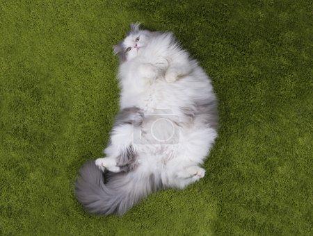 fat cat lying nazelenoy grass