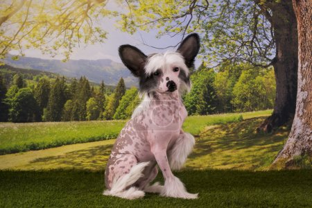 Chinese Crested puppy playing on the lawn summer day