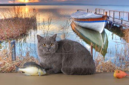 British cat is fishing at the lake