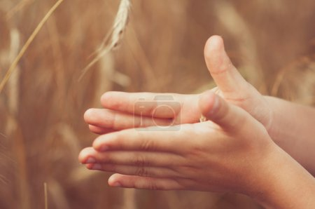 Spikelets of wheat in the hands of