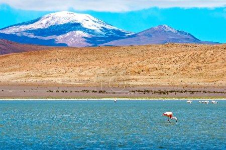 Flamingos in laguna