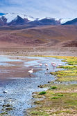 Flamingos in laguna, Bolivia