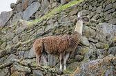 Lama in Machu Picchu in Peru