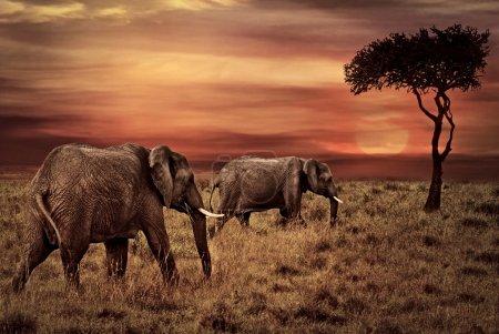 Photo pour Éléphants au coucher du soleil africain Contexte - image libre de droit