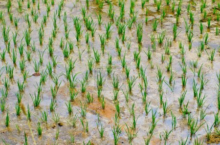 rice growing in field