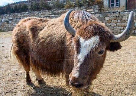 Close-up of yak on the trail