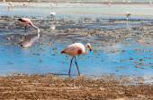 Pink flamingos in Lake