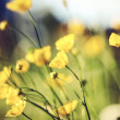 The field summer yellow blossoming buttercups....