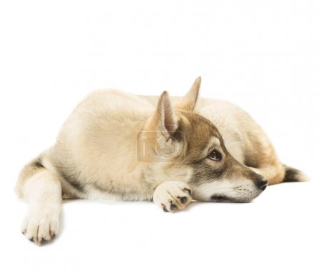 sad Siberian Husky lies on a white background isolated