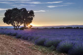 Lavender field summer sunset landscape near Valensole, France