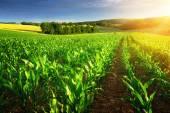 Sluncem zalité řádky rostlin kukuřice